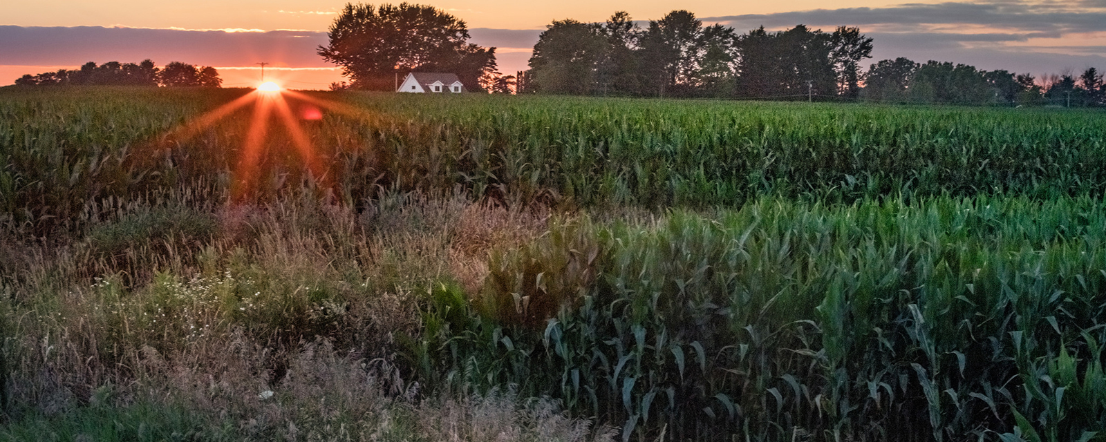 Sunset on a farm, with corn crops in the foreground and the farmhouse in the background