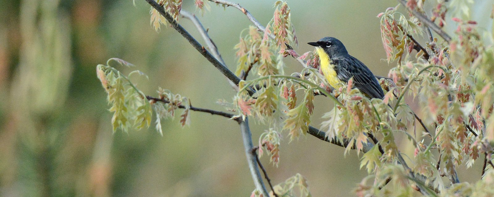 Kirtland's Warbler in Michigan