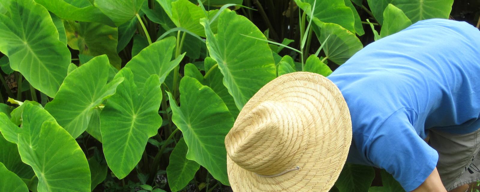 Farmer bending near Taro leaves