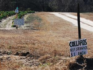 Self-service collard patch near Carthage, North Carolina