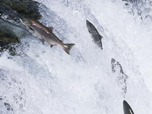 Salmon jumping a fall