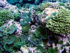 Samoan coral