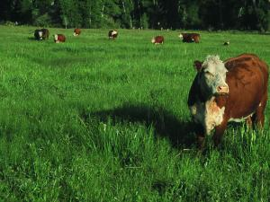 Cattle on Irrigated Pasture, FT Ranch