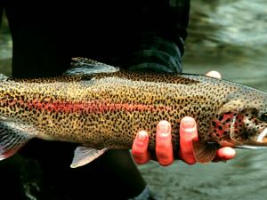 Rainbow Trout in Hand at Gechiak Creek from the U.S. Fish and Wildlife Service