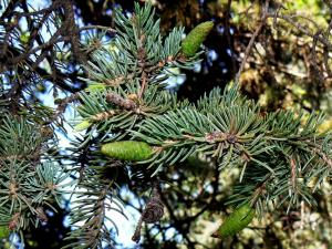 Spruce needles and young cones