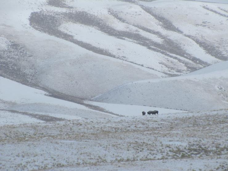 A group of three bison stand on a ridge line dusted in snow.