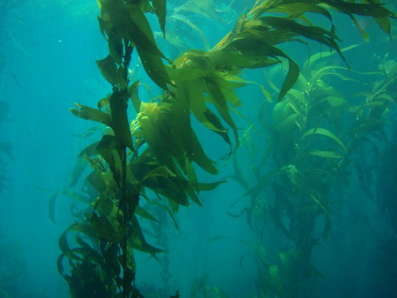 Underwater view of giant kelp