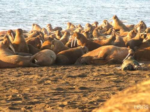 Dozens of walruses crowded together on a beach