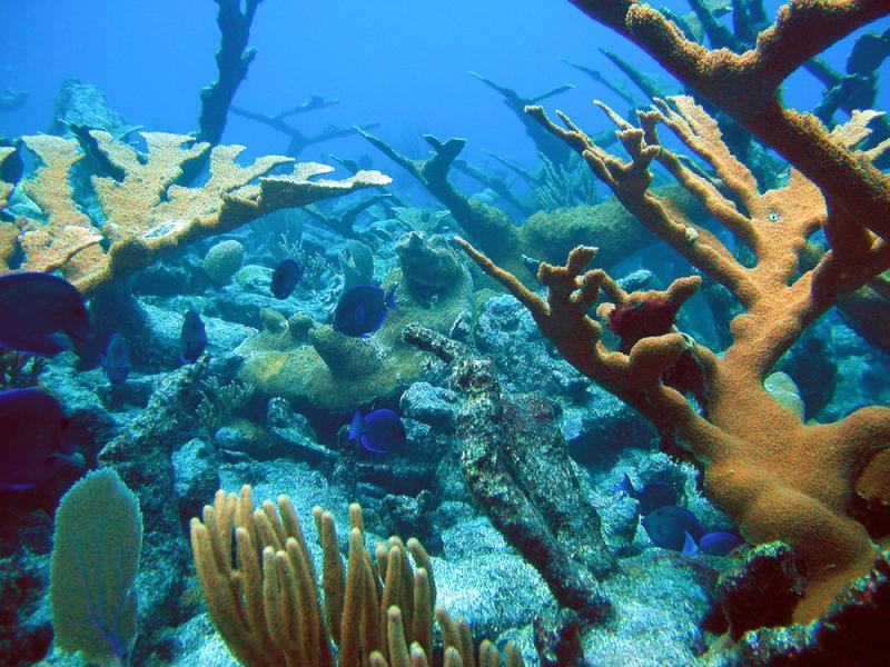 Blue fish swimming among branching corals