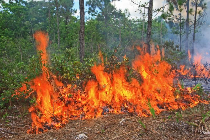 Flames at base of pine trees