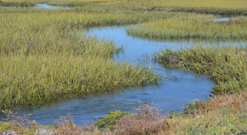 Photo of Cordgrass at Seal Beach National Wildlife Refuge