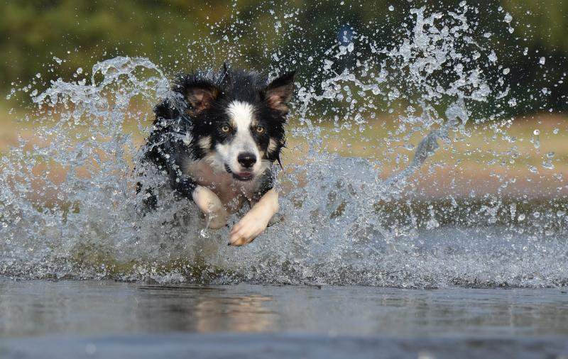 A dog running through water