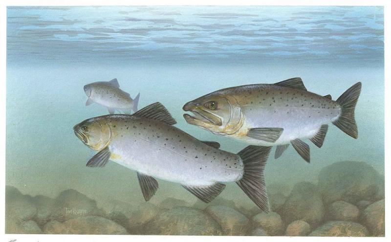 Illustration of three Pacific salmon underwater
