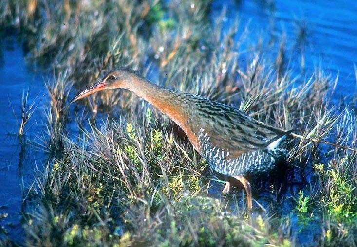 Photo of Ridgway's rail (bird) in marsh vegetation