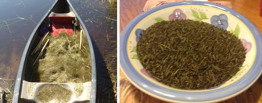 Newly Harvest Wild Rice and Finished Rice