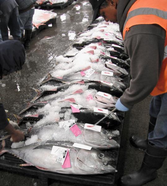 Row of tuna on ice
