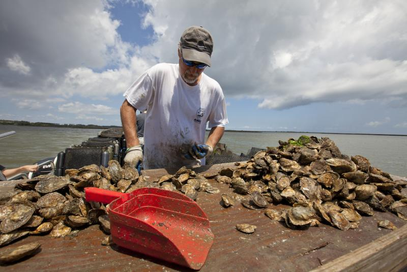 Man sorting oysters