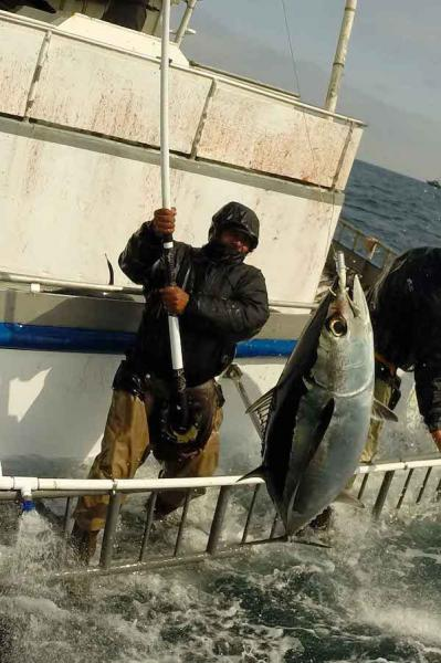 Fisherman on boat with albacore on line suspended in air