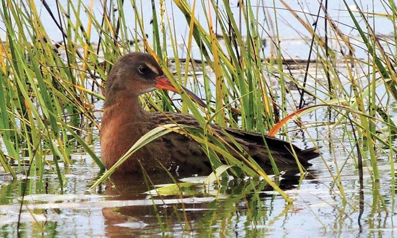Photo of light-footed Ridgway's rail at Seal Beach National Wildlife Refuge