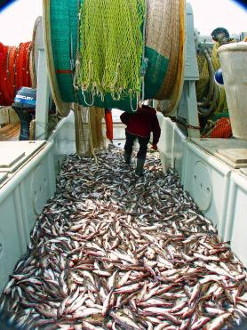 Photo of a trawl catch of pollock