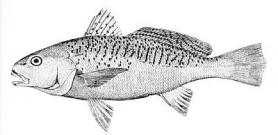 Drawing of a fish with obvious notch in dorsal fin