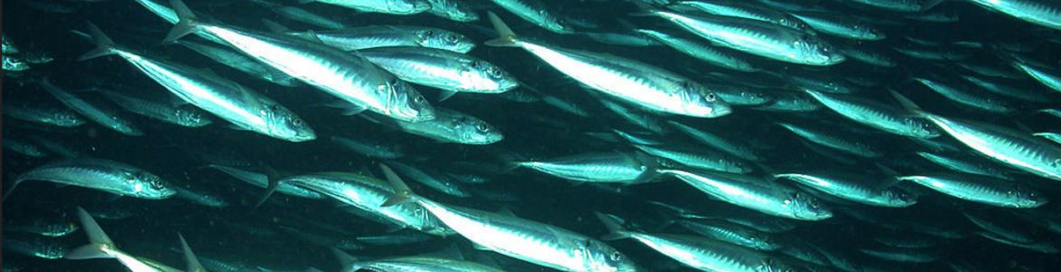 School of Jack mackeral from NOAA Photo Library