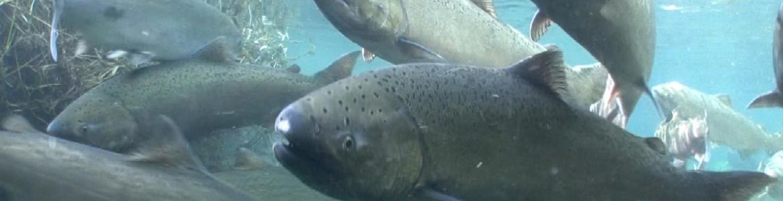 Spring Chinook salmon