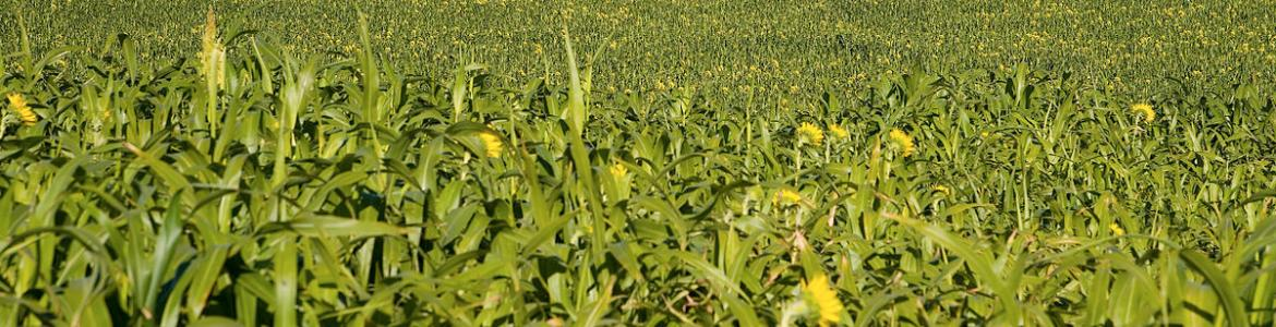 Cover Crop Diversity Working Toward Improving Soil Health in North Dakota