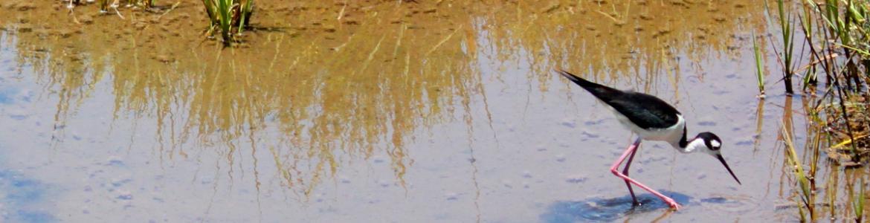 A Black-Necked Stilt meanders in a shallow salt marsh at Bolsa Chica Ecological Reserve near Huntington Beach, California.