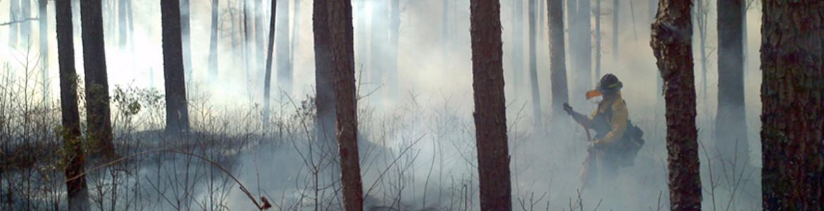 Restoring native longleaf pine ecosystems on the Francis Marion National Forest may include the use of management strategies like prescribed burning.