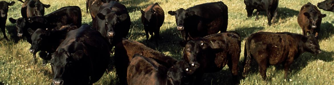 A herd of Black Angus cattle on a ranch